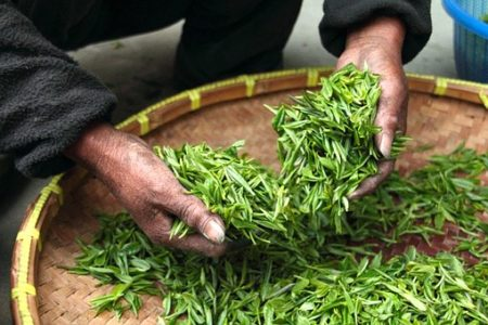 EFSA Assesses the Safety of Green Tea